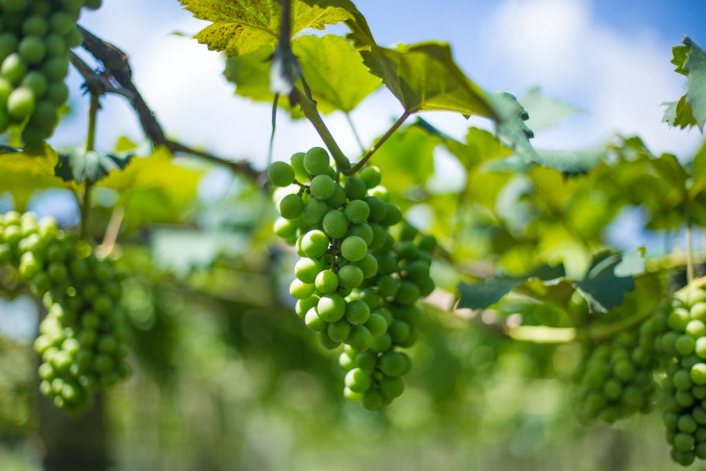 Foto de um cacho de uva da plantação de Ademir Ventura